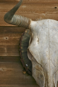 Arizona the Bull Skull