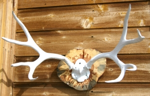 Stunning White Deer Rack for your Boho Chic Home